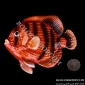 چینی آنتیک 506 مجسمه ماهي قرمزمشکي ديواري کوچک
